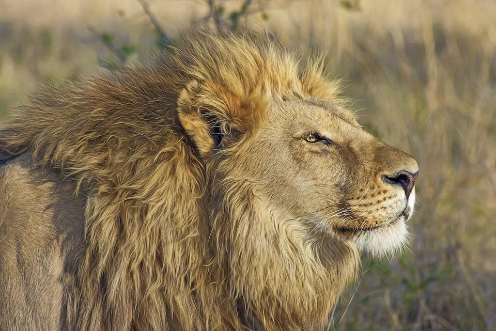 Lion - Big 5 at Kwenga Safari lodge